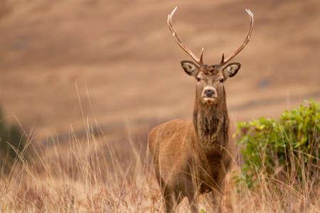 fallow deer: Reindeer
