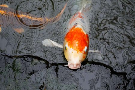 Koi Carp poisson photo