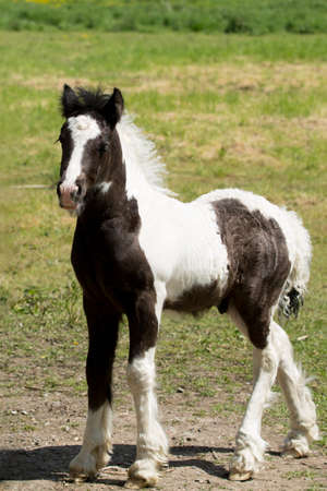 Foal, baby horse standing in a field Stock Photo