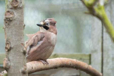 European Jay Bird photo