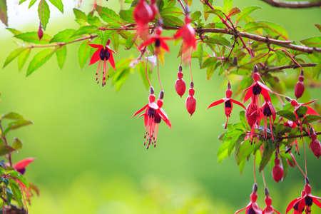 flores fucsia: Flores rojas, flores fucsias aisladas contra el verde Foto de archivo