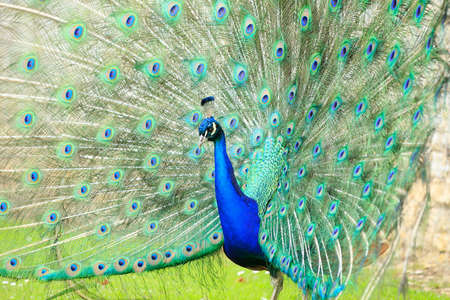 indian peafowl: Peacock displaying feathers