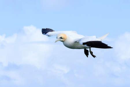 boobies: Gannet bird