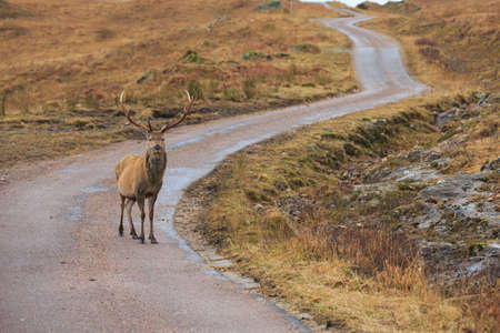 Reindeer standing on an empty road
