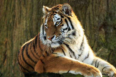 bengal tiger: Bengal Tiger looking to the right