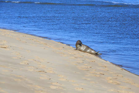 Seal, young pup basking on a sand bar photo