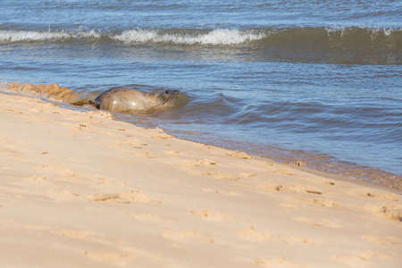 Seal, young pup returning to the ocean photo