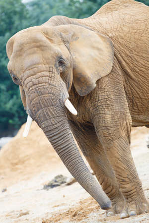 mouthed: Elephant looking at the camera