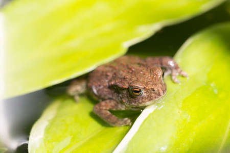 clambering: Frog on a green leaf