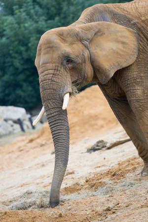 mouthed: Elephant Stock Photo