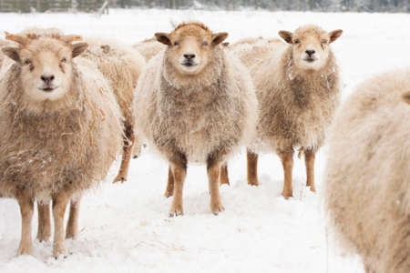 Sheep standing in a snow covered field.