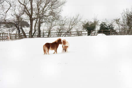 ponies: Little Shetland Ponies in the snow Stock Photo