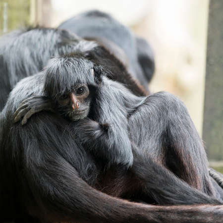 Monkey, young black headed spider monkey, square cropped image
