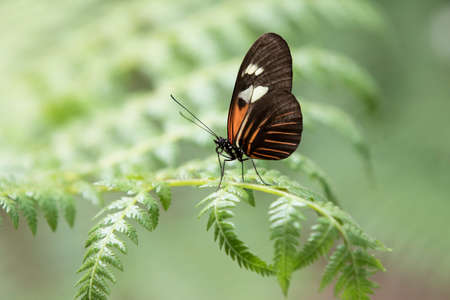 Tropical Butterfly resting on a green leaf Stock Photo