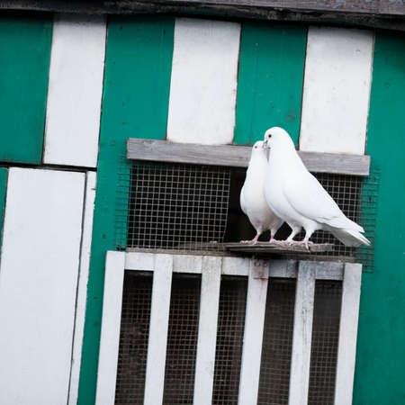 courting: Love Birds, a pair of white doves courting