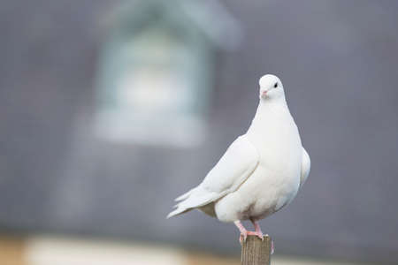 White Dove perched on a post Stock Photo