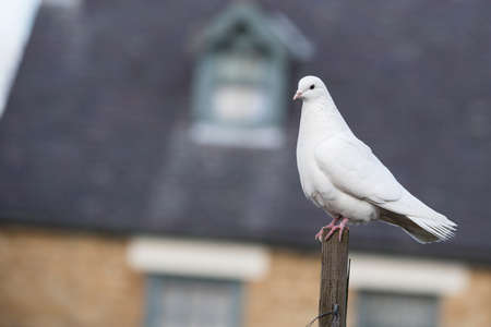white dove: White Dove perched on a post Stock Photo