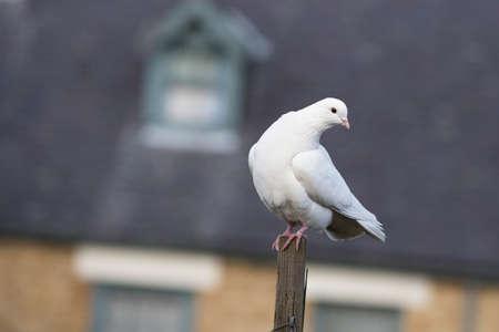 paloma blanca: Blanca Paloma encaramado en un poste