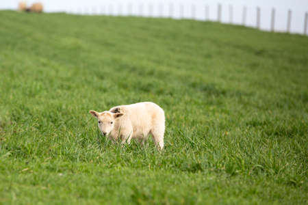 Little lamb on farmland