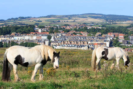 dwell: Wild Ponies grazing with a view of Whitby town Stock Photo