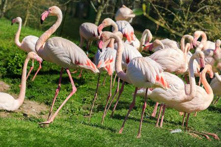 flyaway: A flock of Flamingos Stock Photo