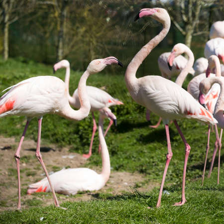 A flock of Flamingos, square cropped,