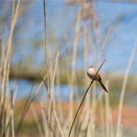 The bearded reedling (Panurus biarmicus) female, square crop,