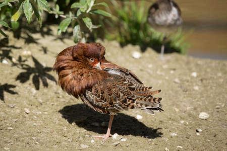 preen: The ruff (Philomachus pugnax) male