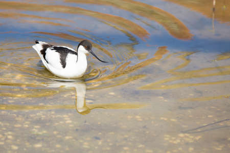 preen: Avocet wading in water