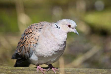 turtle dove: The European turtle dove (Streptopelia turtur)