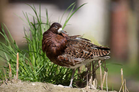 ruff: The ruff (Philomachus pugnax) male