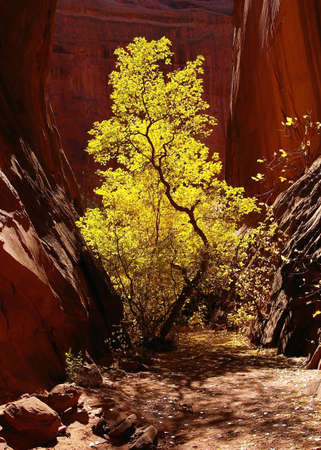 elder tree: Morning sun on box elder tree in slot canyon. Stock Photo