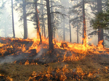 Wind driven fire devils in burning forest. photo