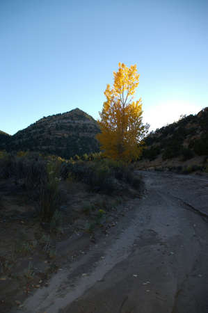 Bright orange cottonwood tree in a desert wash. photo