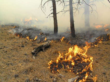 Low fire burning needles and duff on the forest floor. Imagens