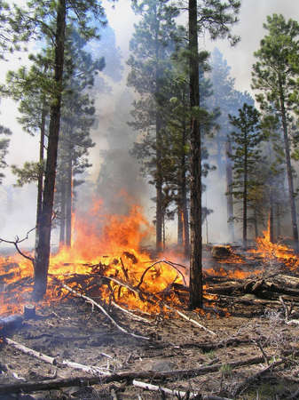 Logging slash burning in a pine forest. Stock Photo