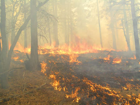 Thick smoke in a burning pine forest.