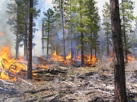 Fire burning logging slash in a pine forest. Imagens