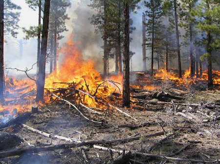 Hot fire burning logging slash in a pine forest. Stock Photo