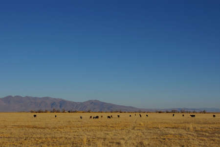 Cows scattered across a golden field in the autumn. Stock Photo - 2137073