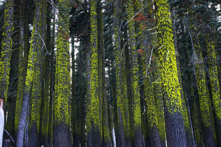 Dozens of trees in a dark forest covered by bright green moss.