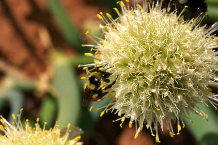 Bee with orange banding collecting nectar from an onion blossom.