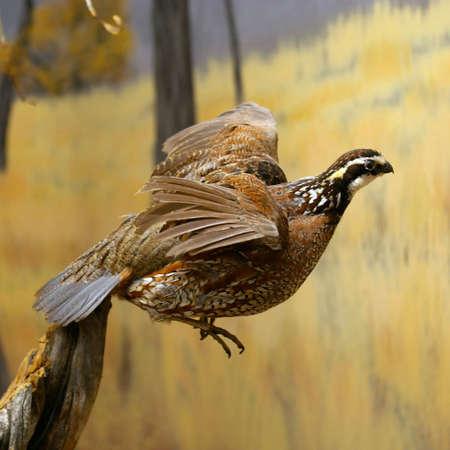 display: Stuffed bird in a wildlife museum display.