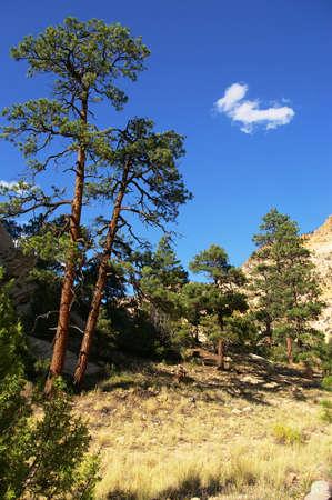 ponderosa pine: Ponderosa pine trees on a small bench above the creek.
