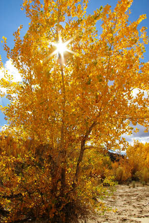 Bright golden cottonwood tree in the autumn.