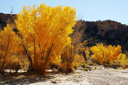Patch of bright golden cottonwoods in a dry riverbed. photo