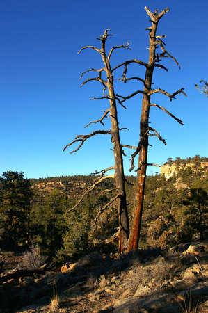 snag: Two dead ponderosa pine trees on a rugged hillside.