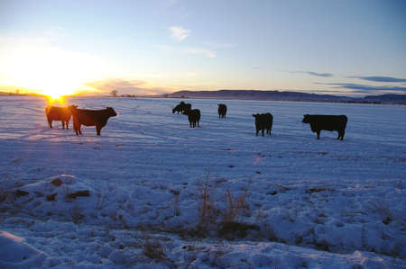 Herd of black cows on a frosty evening. Imagens