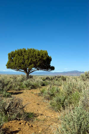 Lone juniper tree against a blue sky in a sagebrush meadow. Stock Photo - 4839299