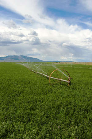 irrigated: A field of alfalfa with a wheel line sprinkler.